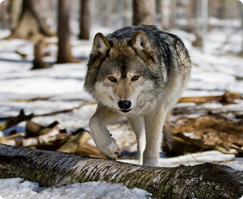 сильный волк