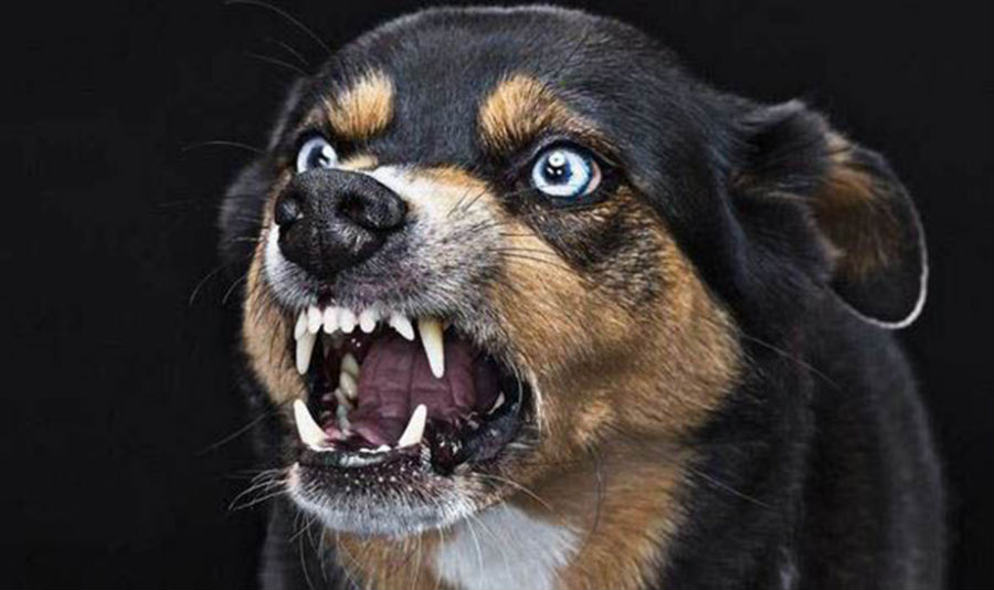 маленькая злая собака