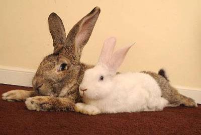 самый большой в мире кролик - фото
