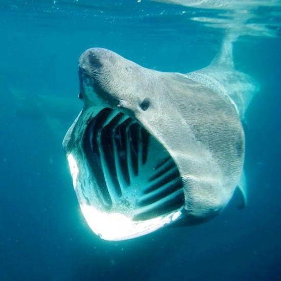 Большеротая акула