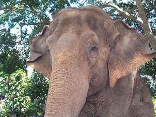 Индийский (азиатский) слон