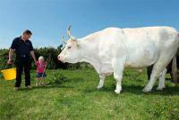 Самые крупные коровы и быки