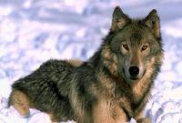 большой волк