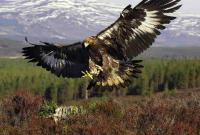 Орел в полете