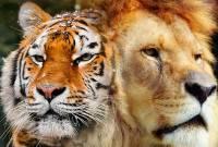 Лев и тигр