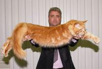самые большие в мире коты