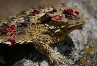 Жабовидная ящерица