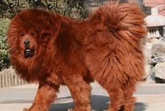 крупная собака - фото
