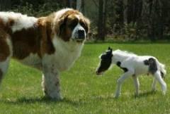 Собака и маленькая лошадь
