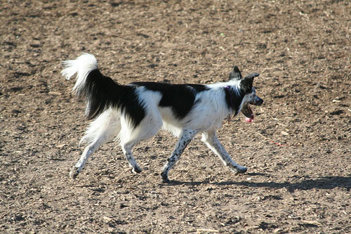 Самая умная порода собак