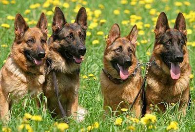 умные собаки