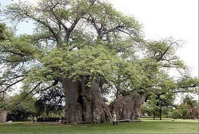 большое дерево - фото