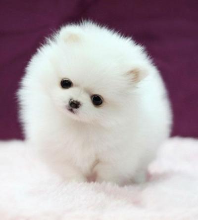Какая самая маленькая порода собак фото этих собачек