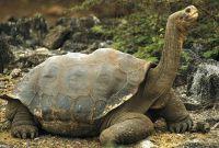 Черепаха Самира