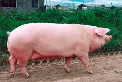 Самая большая свинья