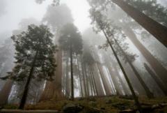 Высокие секвойи